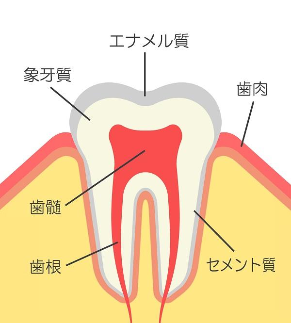 歯の構造とホワイトニングの関係